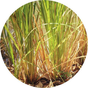 Vetiver, Vintage Essential Oil