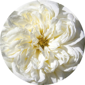 Rose, White Absolute