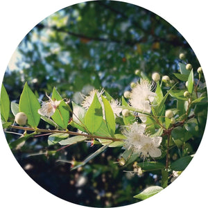 Myrtle, Zest Essential Oil