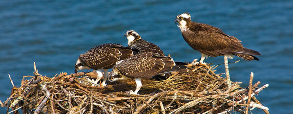 Four Osprey on Nest