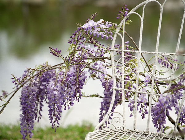 Wisteria and Mrs. Davis' Chair in Alabama