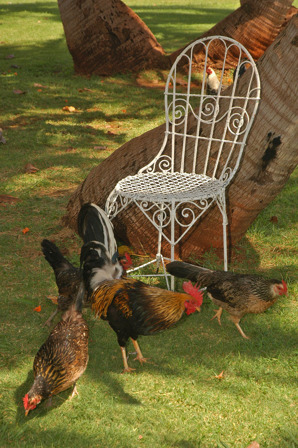 Wild Chickens and Mrs. Davis' Chair in Hawaii