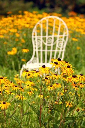 Mrs. Davis' Chair and Black-eyed Susans in West Virginia