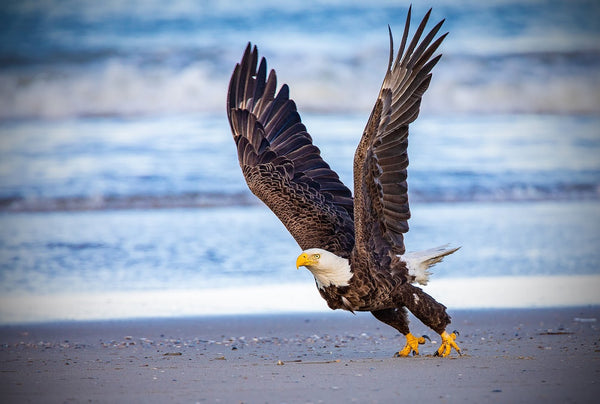 Eagle On The Beach