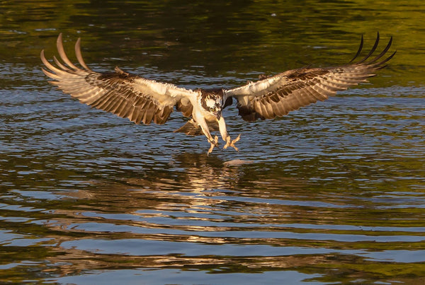 Osprey Hunting A Fish