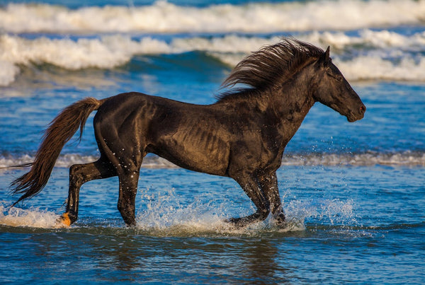 Stallion Running In Surf