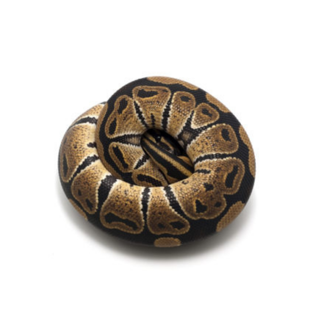 Ball python courtesy of Ill Exotics