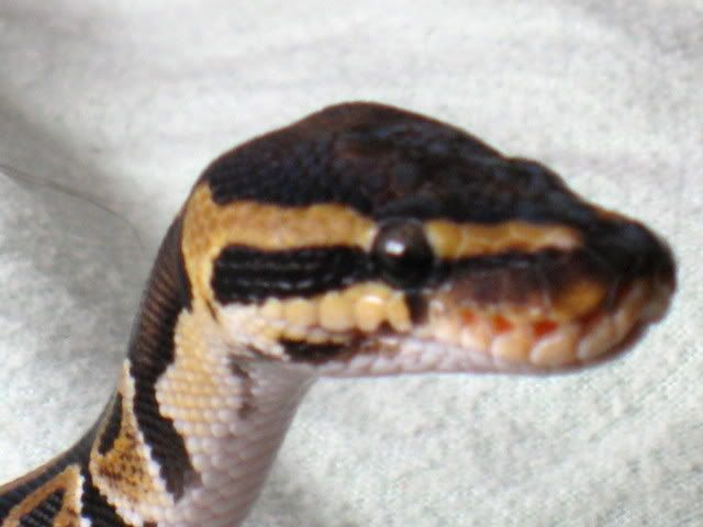 Ball Python Face Courtesy of Pintrest