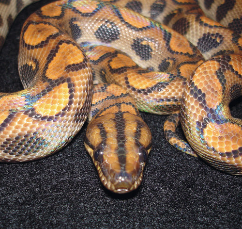 Brazilian Rainbow Boa Courtesy Of Reptile Magazine