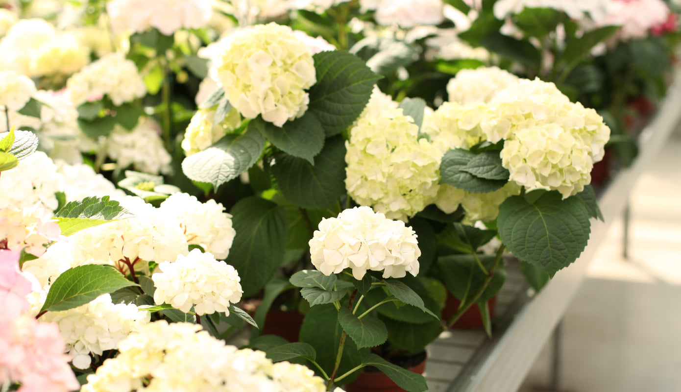 white hydrangea flowers in Jayson Home's outdoor garden
