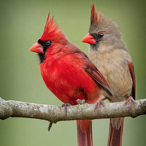 Cardinal Bird Diamond Painting Kit - DIY