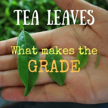 How Loose Leaf Tea is Graded For Quality