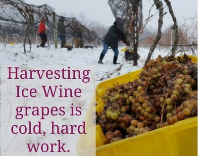 Harvesting Ice Wine is cold hard work
