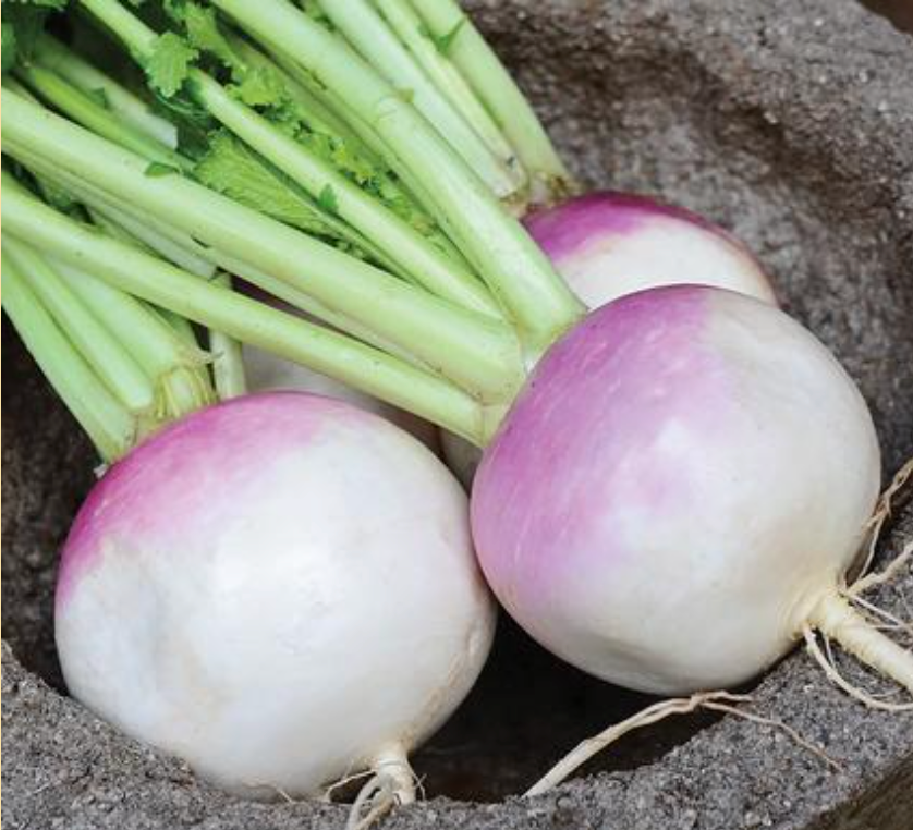 Turnip purple top