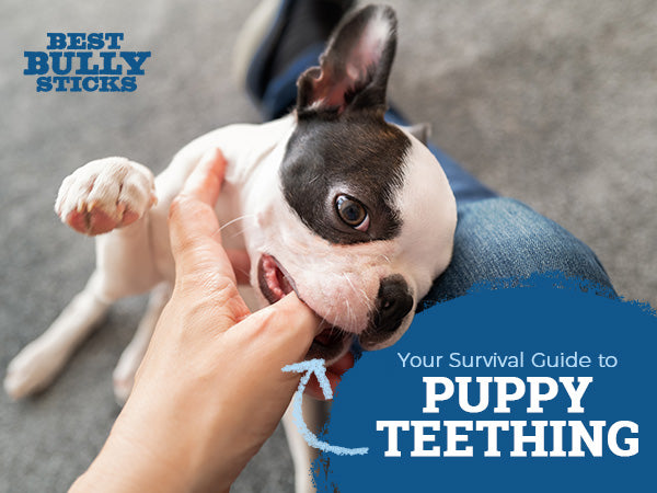 your survival guide to puppy teething