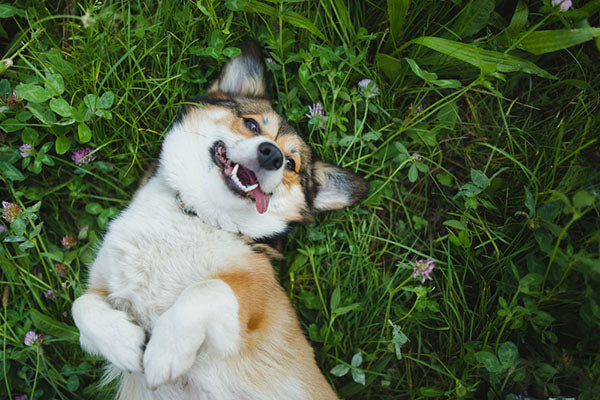 happy dog on back in grass