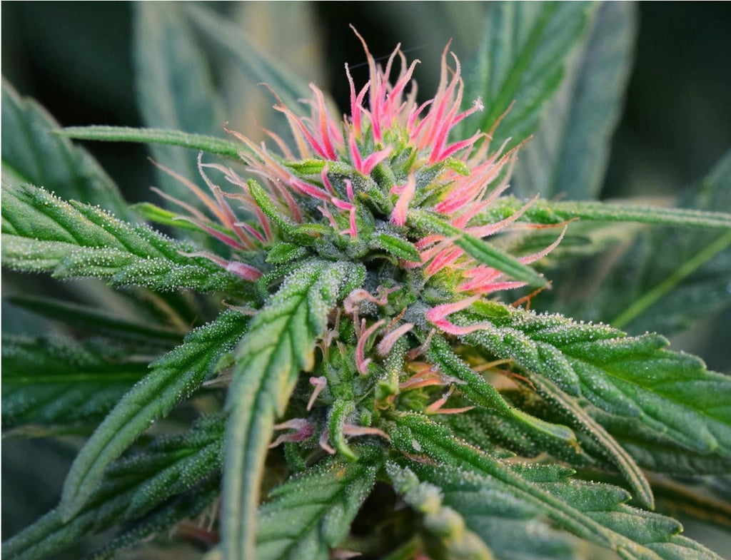 BERRY BLOSSOM | FULL TERM | SEEDS - SWISS CANNABINOID