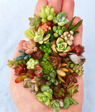 Load image into Gallery viewer, Succulent Cuttings