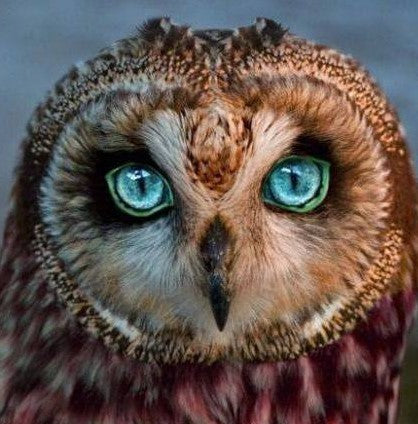 chouette hibou animal chamanique