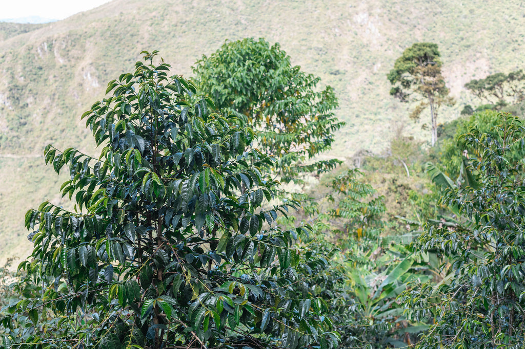 Bourbon coffee trees on Finca Progreso