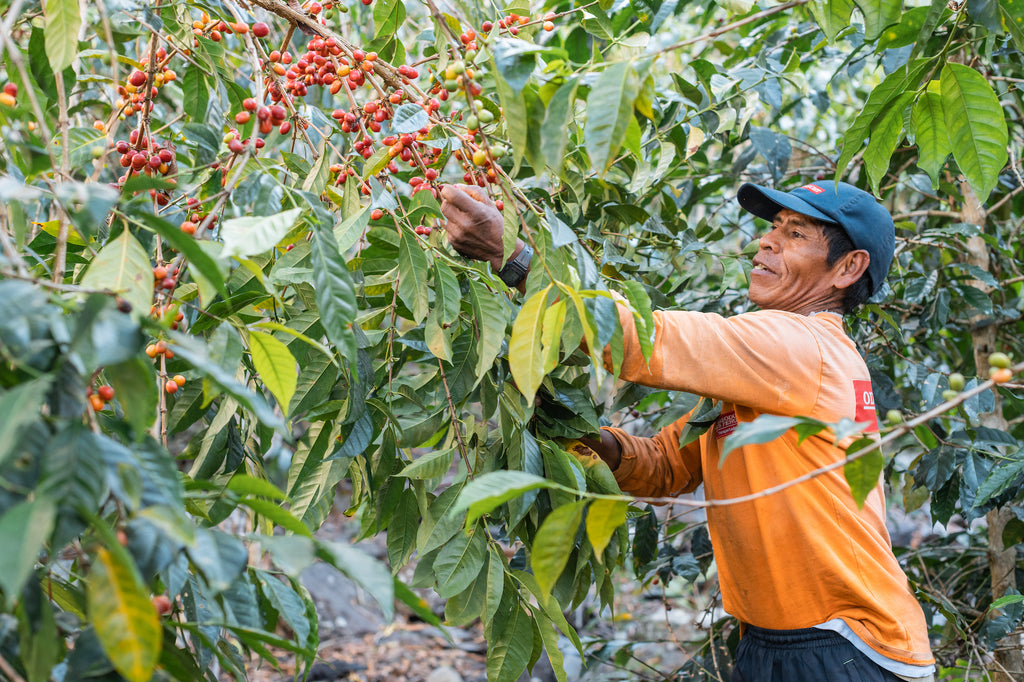 Thankfully for Agustin and his pickers the tall coffee trees are willowy and supple, able to bend over to pick thoroughly