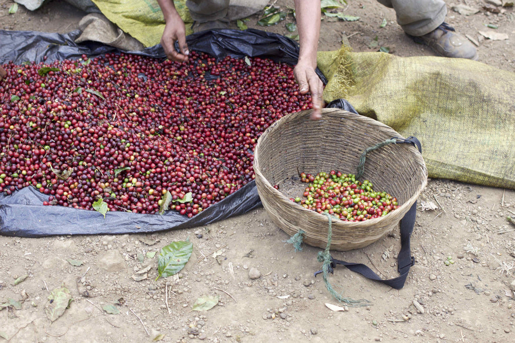 Selectively picked cherry undergoes another stage of sorting.