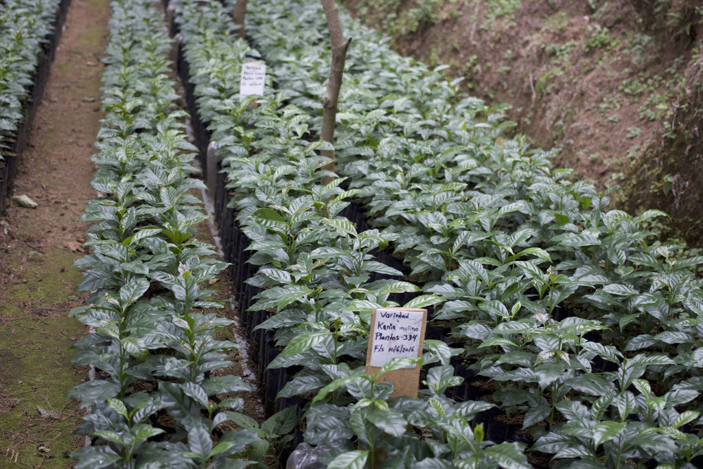 Young coffee plants of the SL28 variety await planting on the Salaverria brothers' estates.