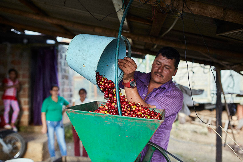 Coffee cherry being loaded into a pulper hopper, from Jake's latest project, 'Beber Mi Sudor'.