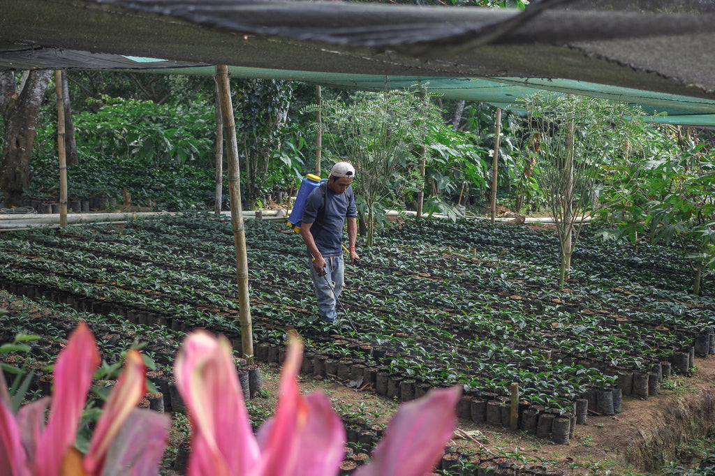 Coffee seedlings being tended at a nursery, Santa Ana, El Salvador.