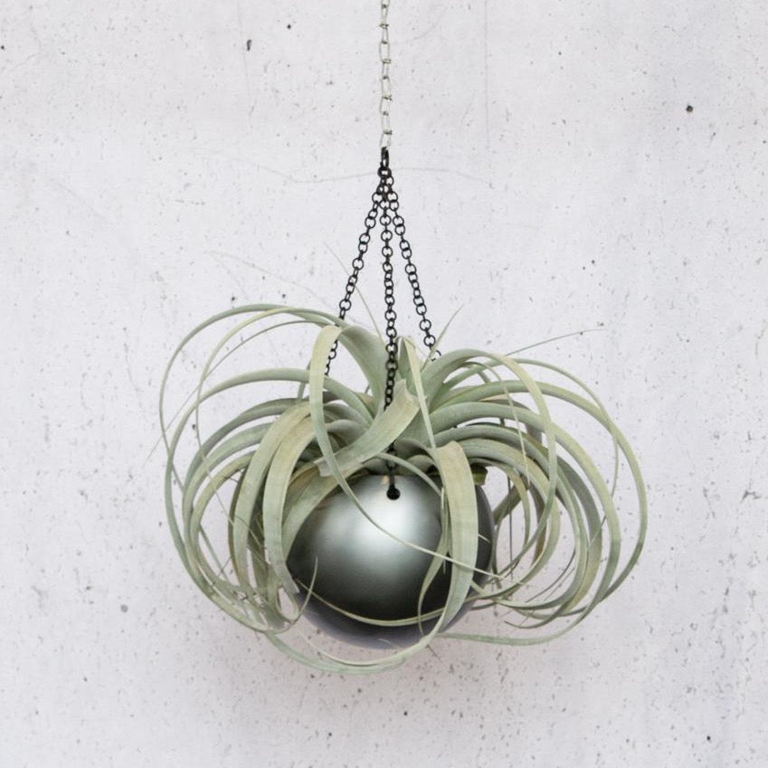 T. Xerographica Including Hanging Pot