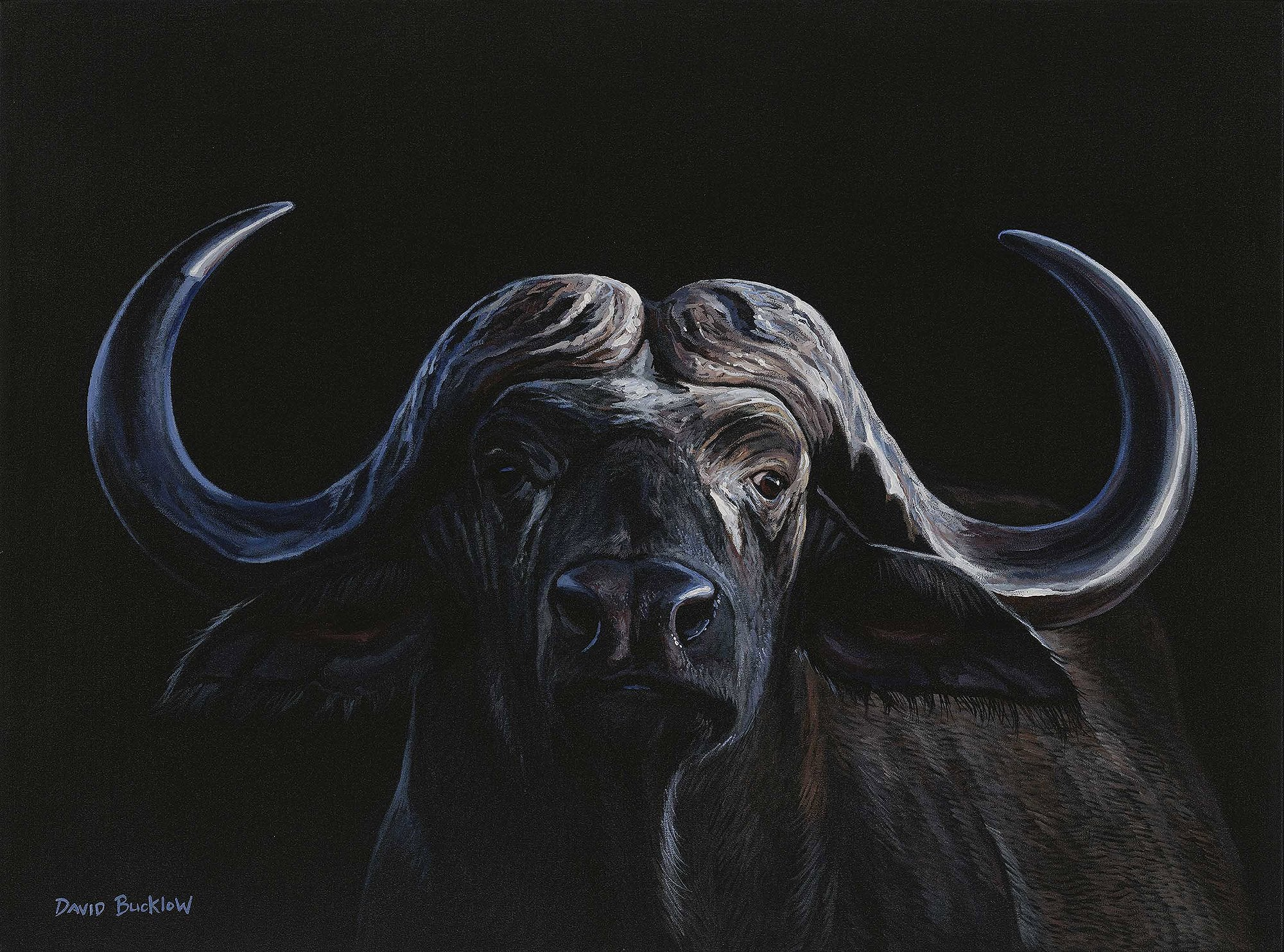 A fine art print of a Buffalo by artist David Bucklow entitled Nyati