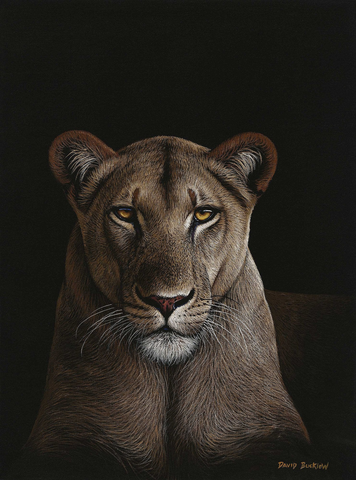 Lion Print entitled My Queen - Lioness by Wildlife Artist David Bucklow