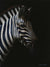 South African Limited Editions by David Bucklow - Indube - Zebra Study - Fine Art Portfolio
