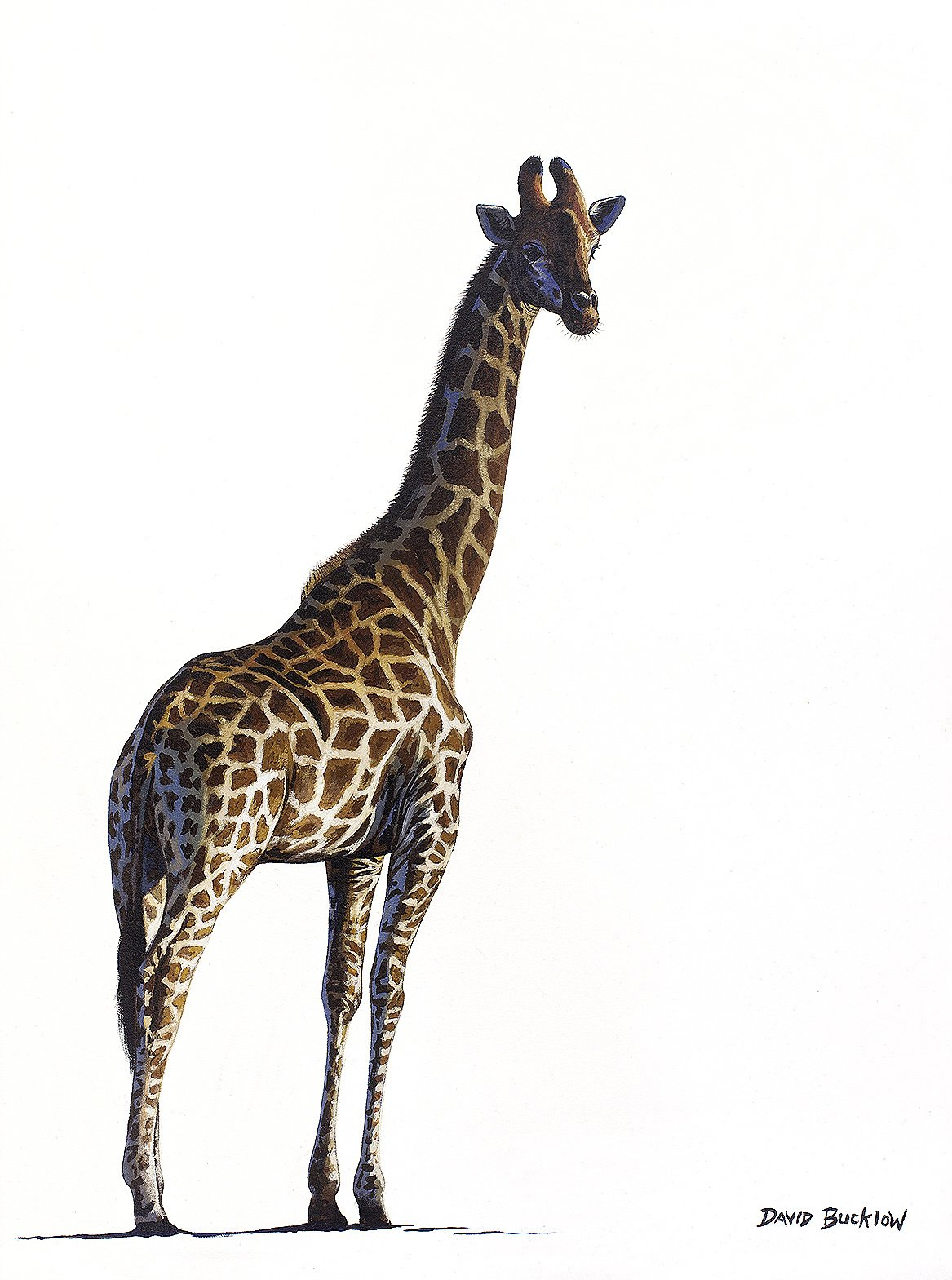 South African Limited Editions by David Bucklow - Standing Tall - Giraffe - Fine Art Portfolio