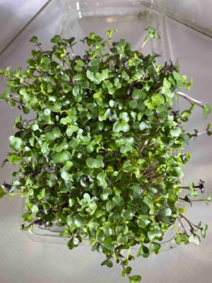 Organic Spicy Salad Microgreens 1oz