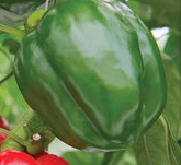 1 Heirloom Bell Peppers