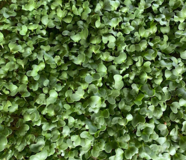 Heirloom Broccoli Microgreens