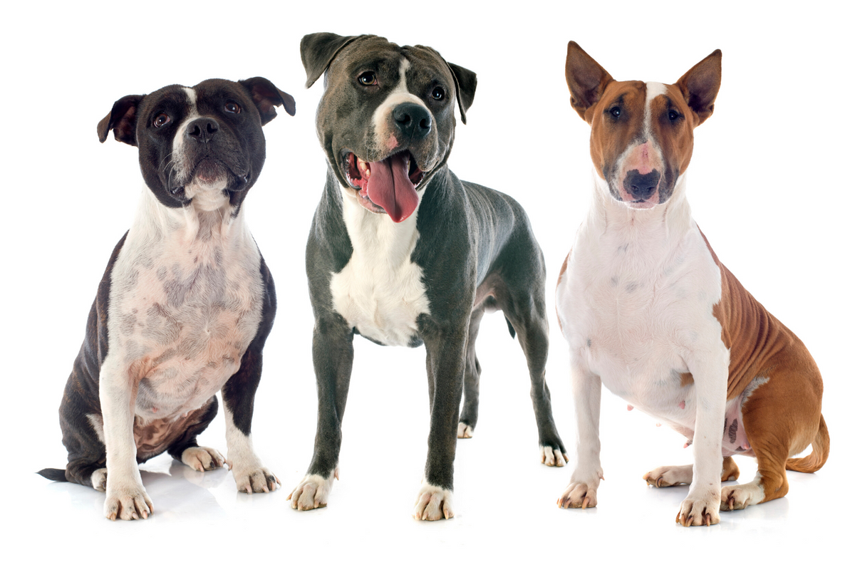 bull breed dogs