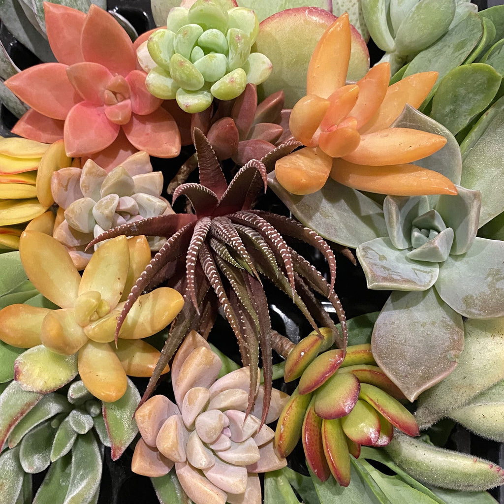 25 Succulent Cuttings Assortment - SHOWFIELDS