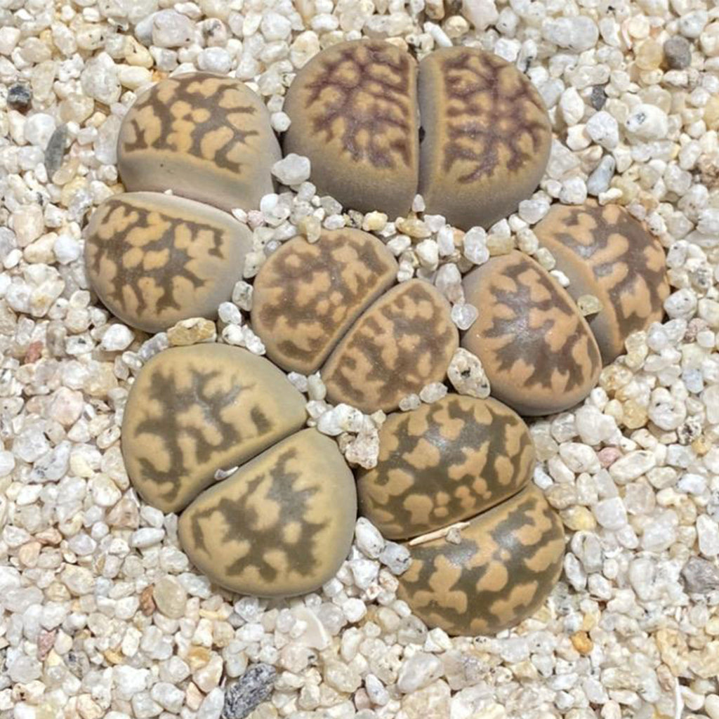 Lithops Party Pot ~ Dorotheae - SHOWFIELDS