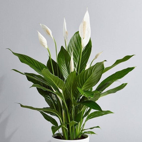 Peace Lily Removing Airborne Volatile Organic Compounds
