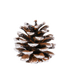 2 in White Coated Pine Cone