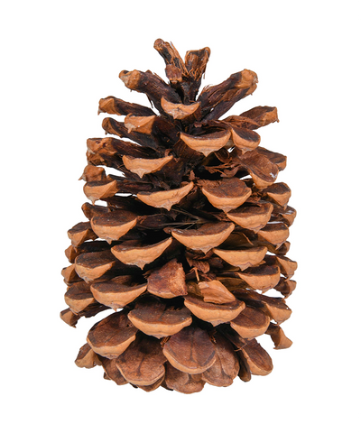 5 in Natural Pine Cone