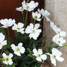 Load image into Gallery viewer, CHRYSANTHEMUM DAISY WHITE PKD 12 £1.65 EA.