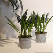 Load image into Gallery viewer, GRAPE HYACINTHS IN POT BLUE PKD 12 £2.90 EA.