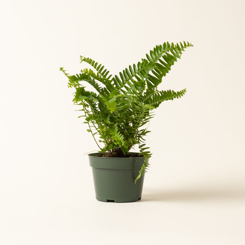 Nephrolepis 'Kimberly Queen' Fern