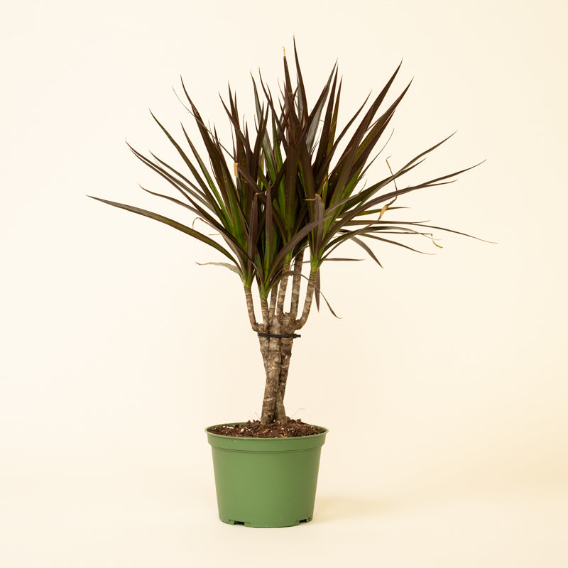 Dracaena - Marginata Twisted (Dragon Tree) - Leaf Tip Damage