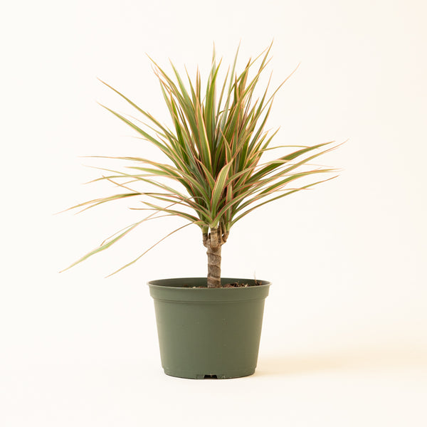 Dracaena Cut Back Coloramas