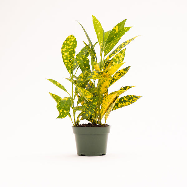 Croton Gold Dust