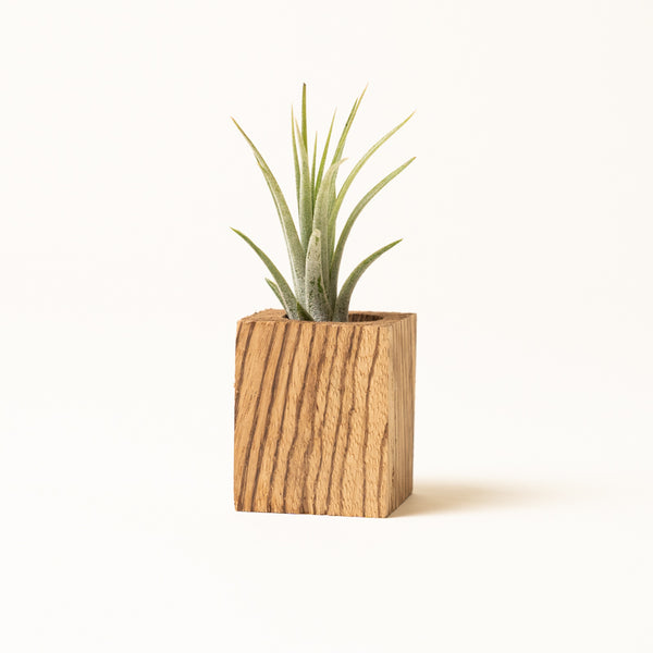 Zebrawood Airplant Planter